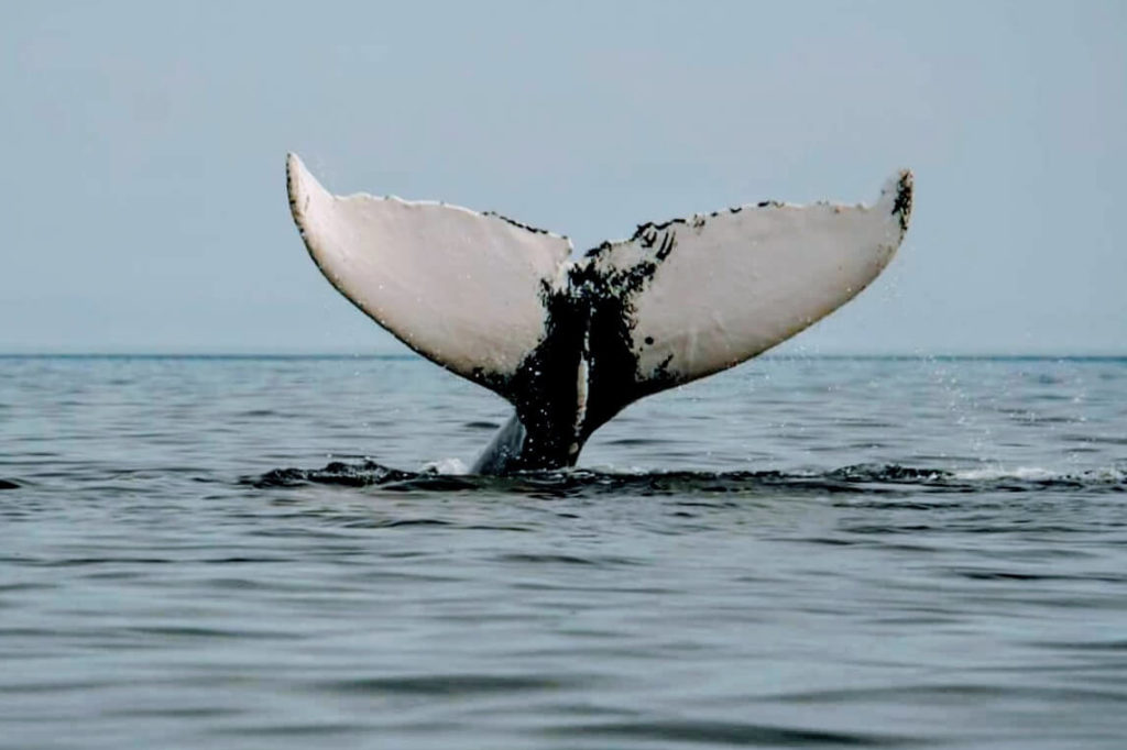 Humpback Whale in Trinity Bay