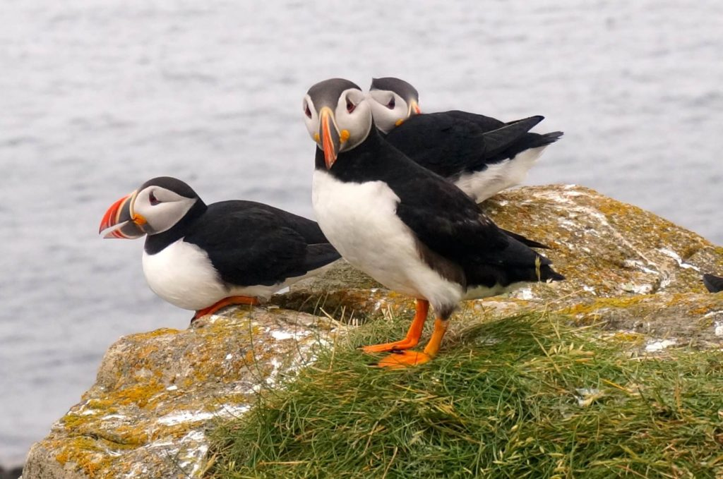 Atlantic Puffins return to the same spot in Elliston every year