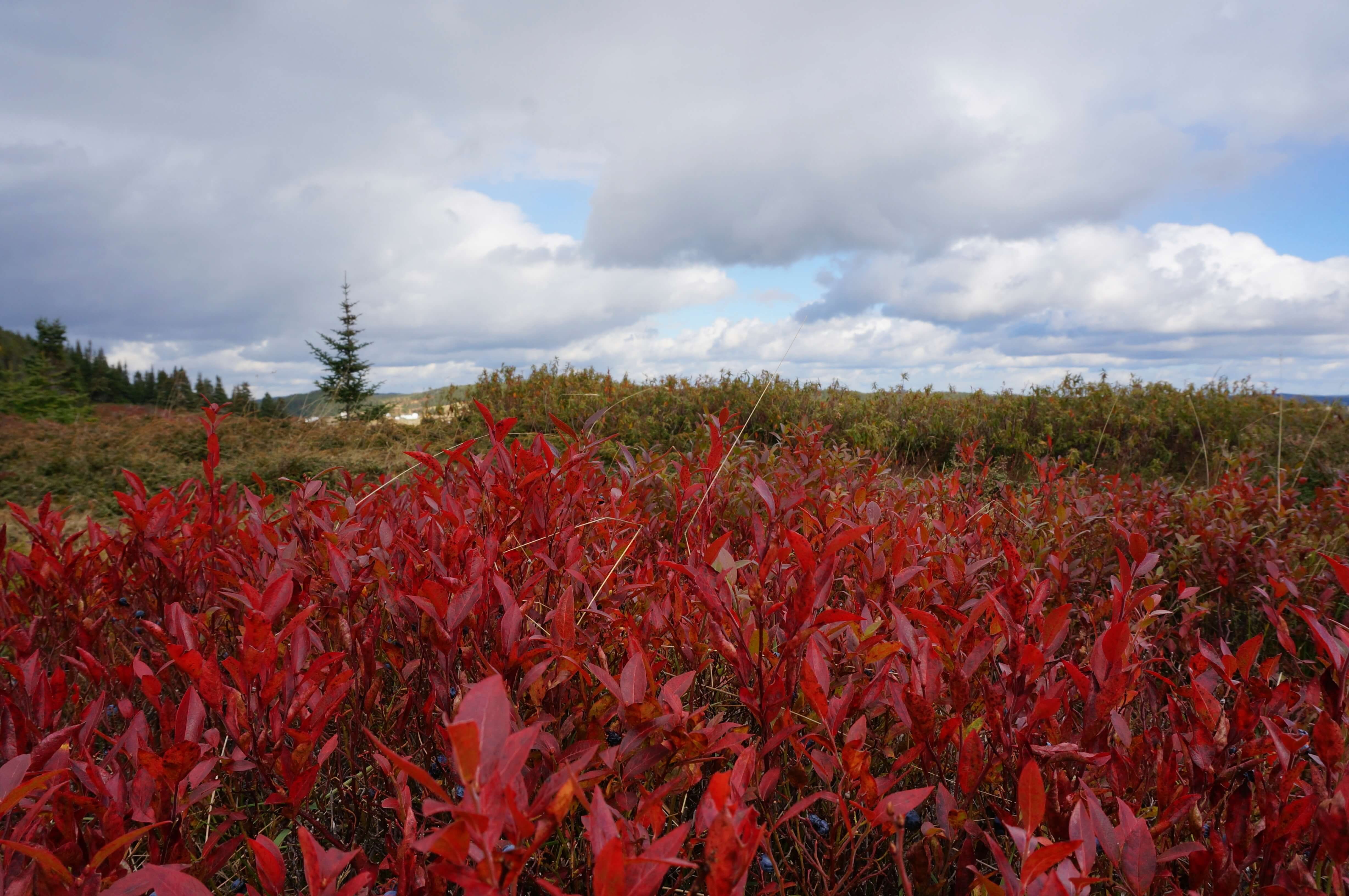 Red blueberry bushes