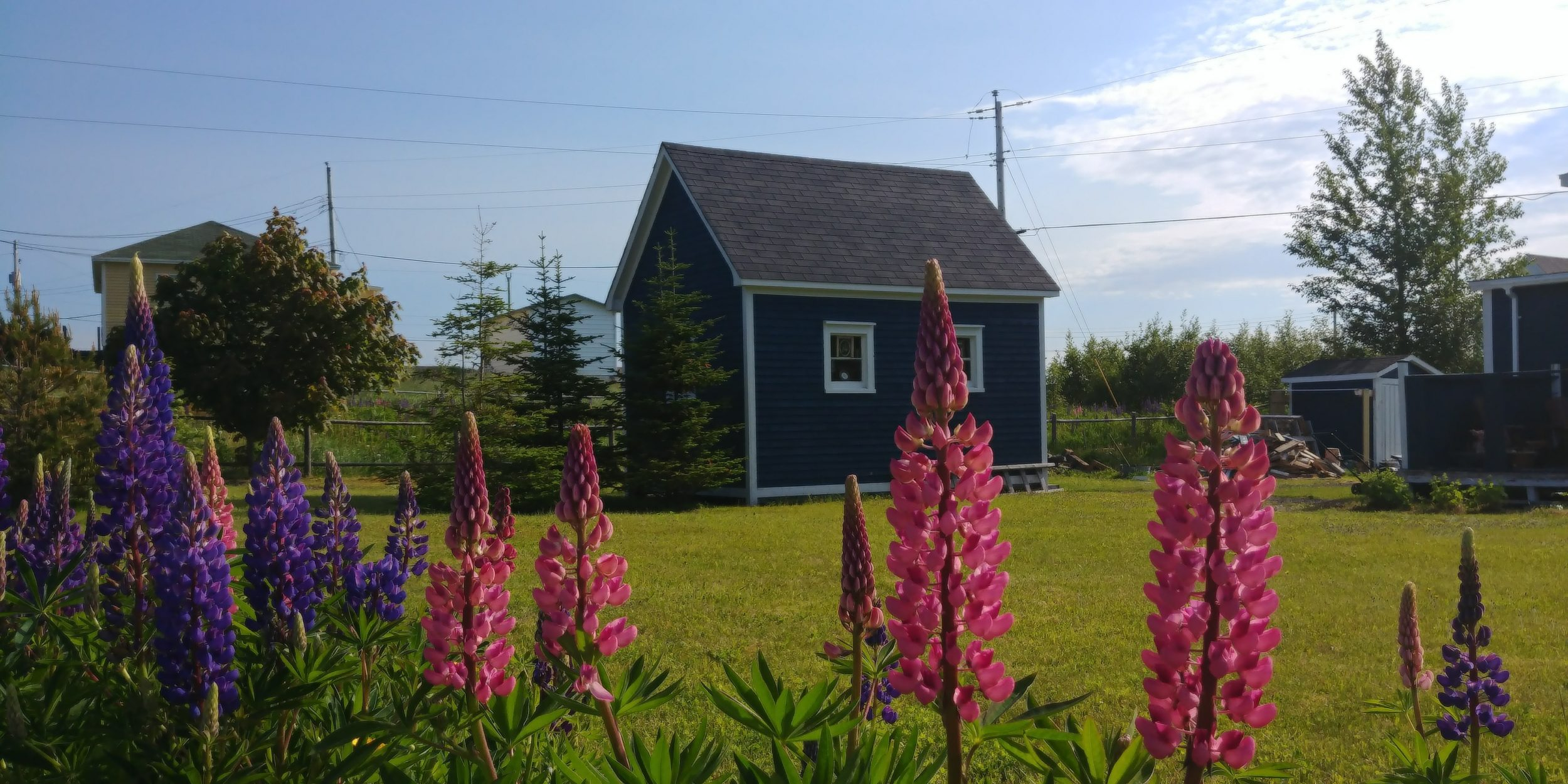 Lupins in Trinity