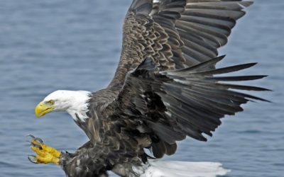 Bald Eagle Flies over the Atlantic