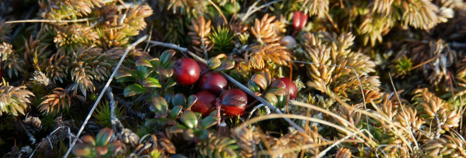 Newfoundland Partridgeberries