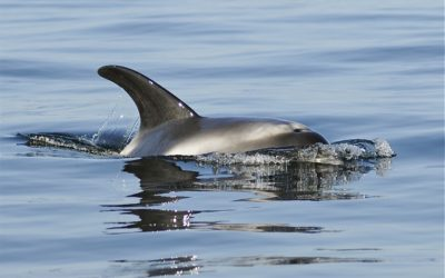 A white sided dolphin swims alongside the boat Photo by Paul Dolk