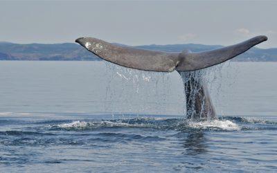 Sperm Whale, Newfoundland