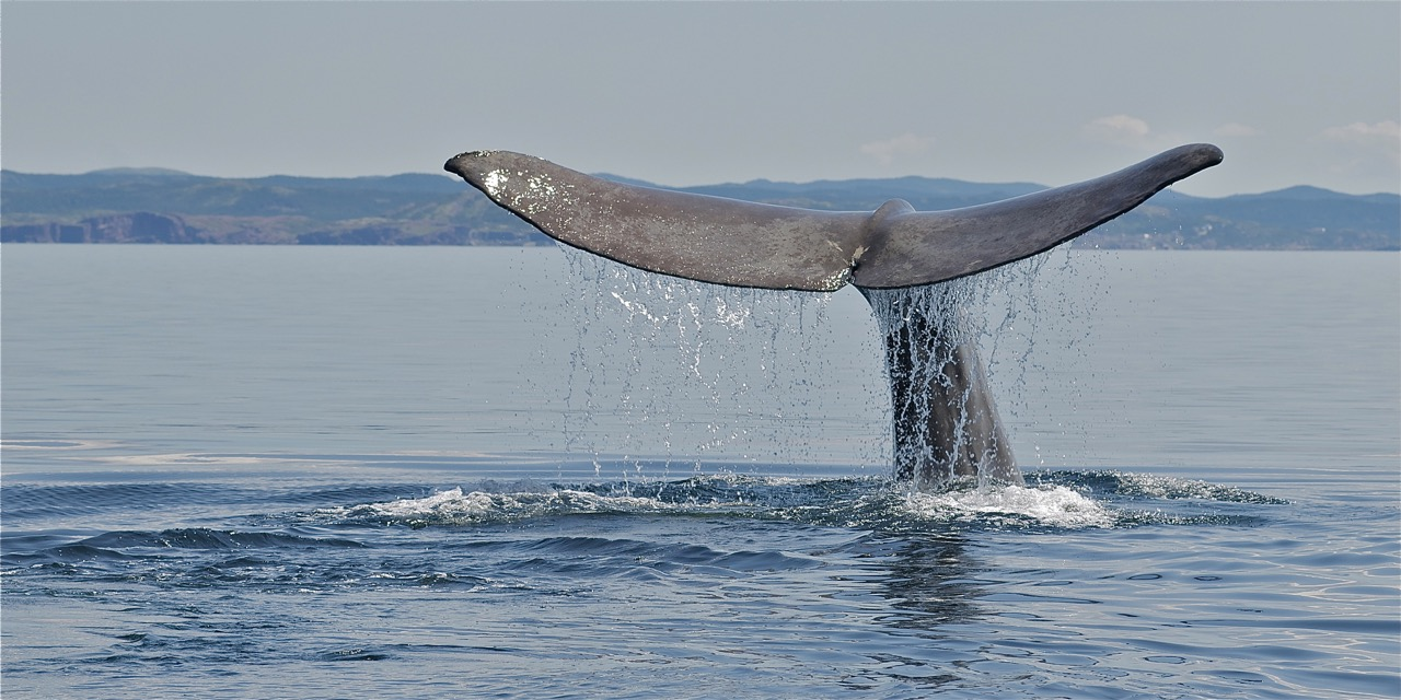 Sperm Whale, Newfoundland Paul Dolk Photography