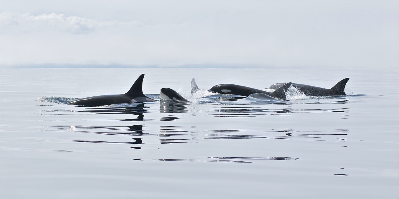 Orcas in Trinity Bay Paul Dolk Photography