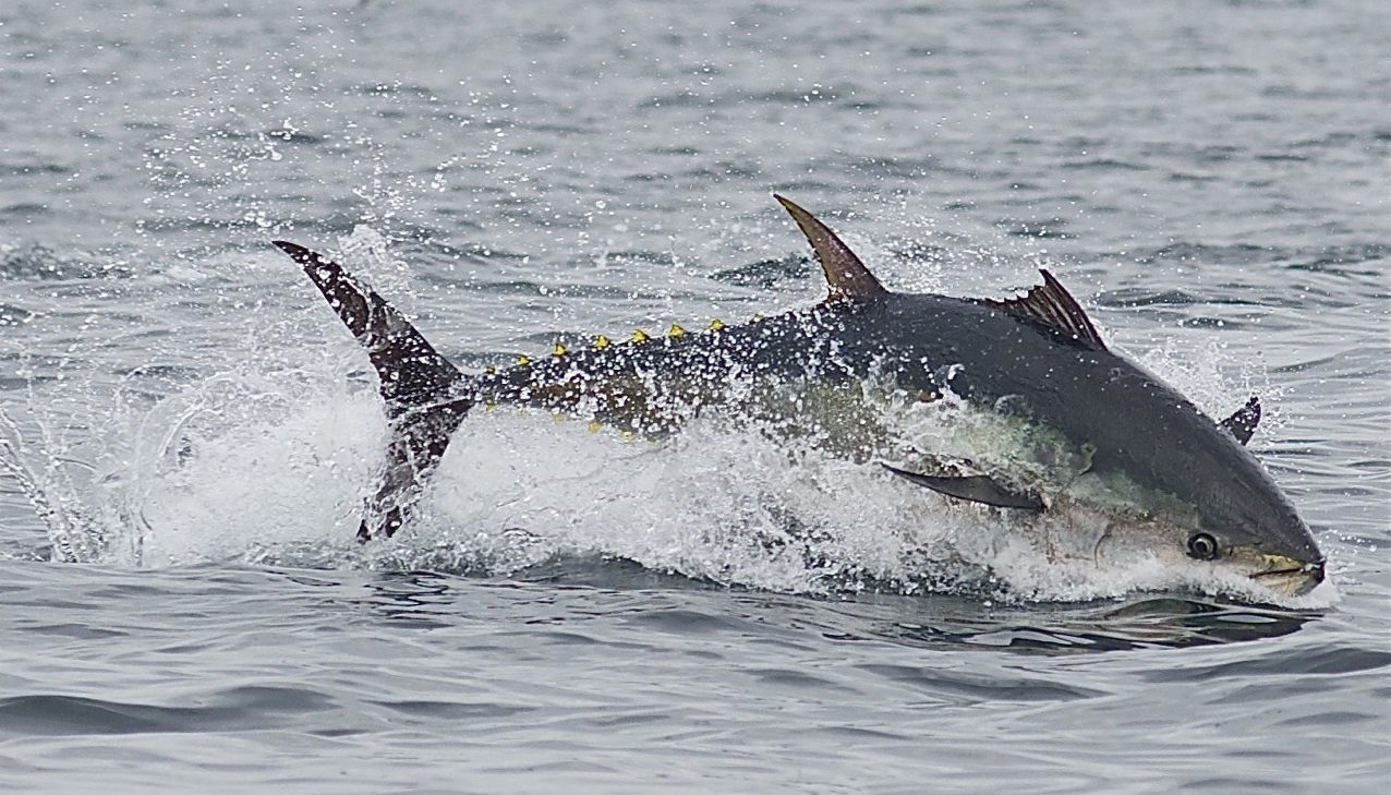 Blue Fin Tuna in Newfoundland. Paul Dolk Photography