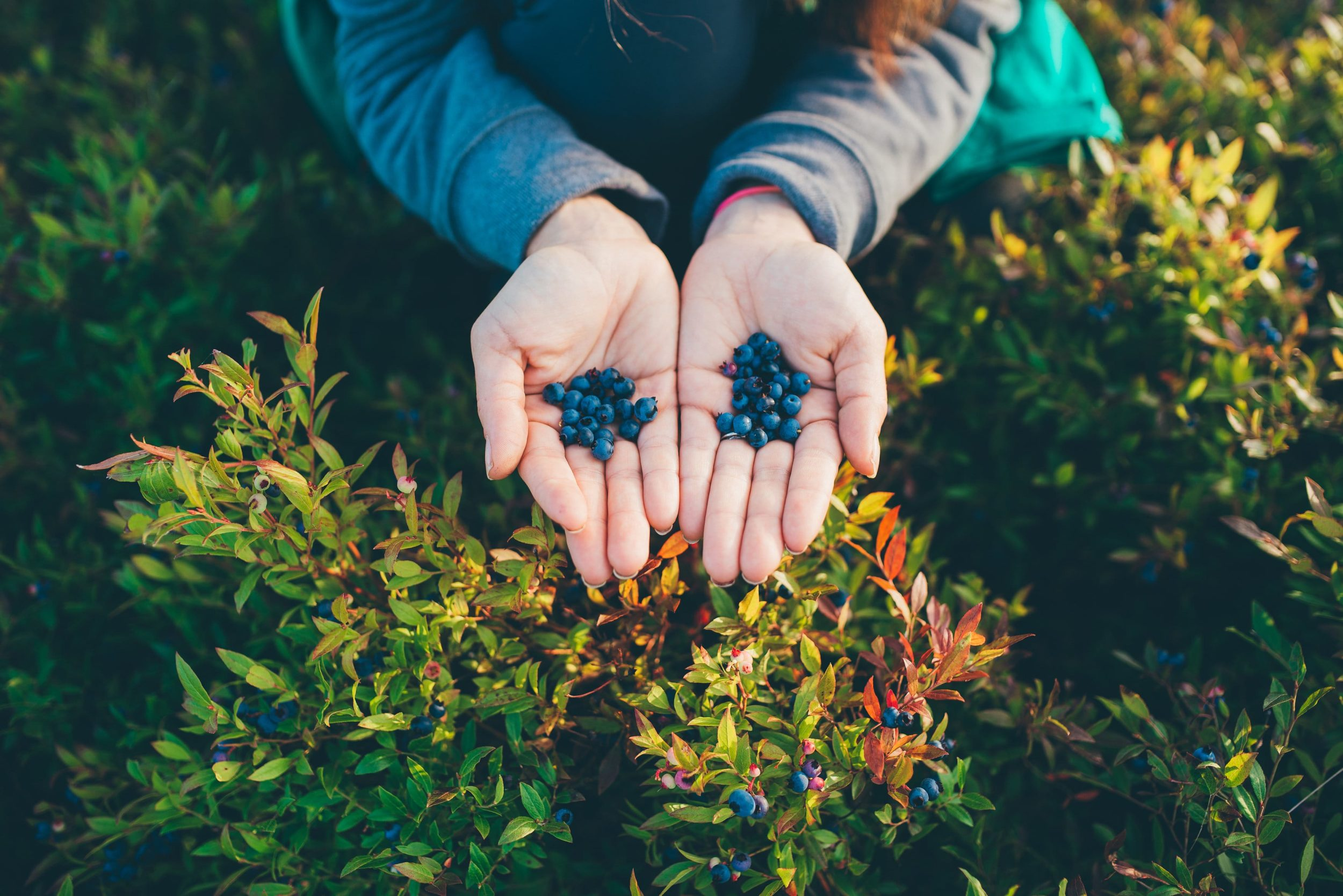 A hand full of blueberries